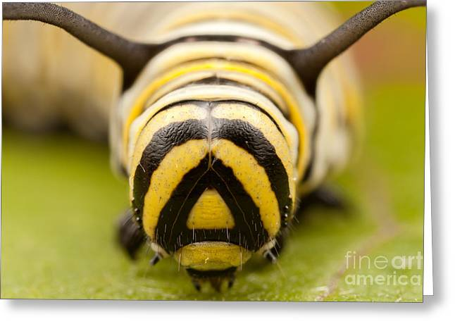 Invertebrates Greeting Cards - Monarch Butterfly Caterpillar II Greeting Card by Clarence Holmes