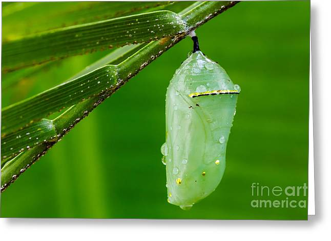 Monarch Butterfly Chrysalis Greeting Card by Dawna  Moore Photography