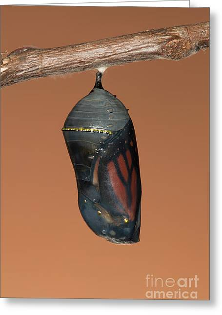 Pupa Greeting Cards - Monarch Butterfly Chrysalis II Greeting Card by Clarence Holmes