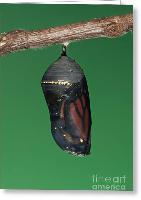 Pupa Greeting Cards - Monarch Butterfly Chrysalis III Greeting Card by Clarence Holmes