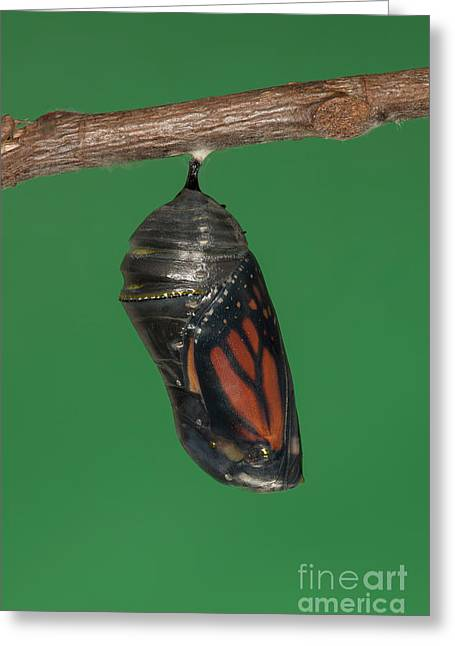 Pupa Greeting Cards - Monarch Butterfly Chrysalis IV Greeting Card by Clarence Holmes