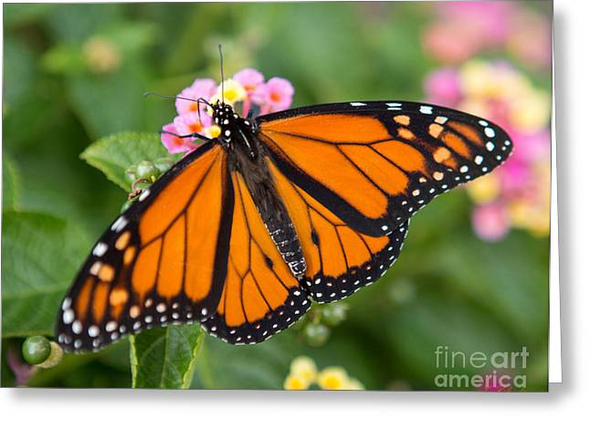 Commercial Photography Greeting Cards - Monarch butterfly Danaus plexippus Greeting Card by Iris Richardson