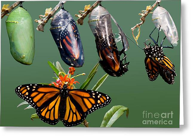 Newly Greeting Cards - Monarch Butterfly Growth Sequence Greeting Card by Anthony Mercieca