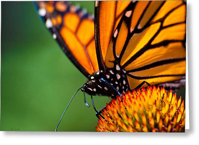 Macro Photography Photographs Greeting Cards - Monarch Butterfly headshot Greeting Card by Bob Orsillo