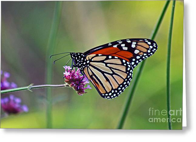 Monarch Butterfly In Garden Greeting Card by Karen Adams