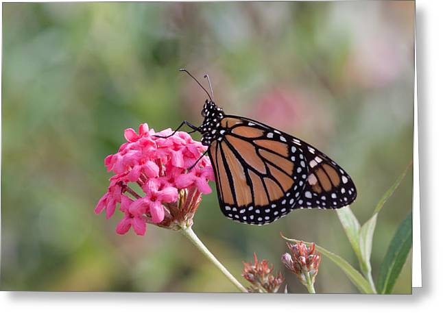 Danaus Plexippus Greeting Cards - Monarch Butterfly Greeting Card by Kim Hojnacki