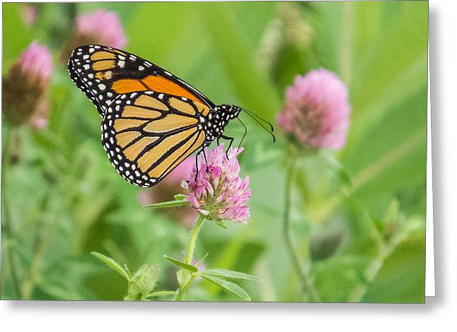 Flying Animal Greeting Cards - Monarch Butterfly on Clover Greeting Card by Patti Deters
