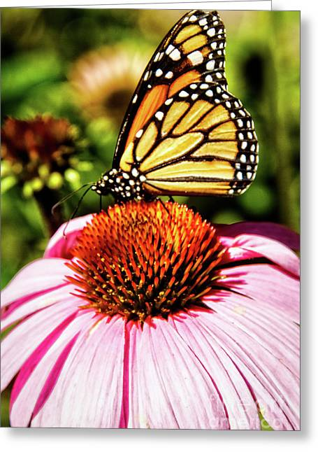 Swallowtail Butterfly Greeting Card by Robert Bales