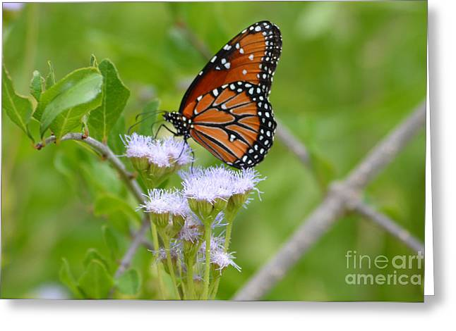 Ruth Housley Greeting Cards - Monarch Butterfly Greeting Card by Ruth  Housley
