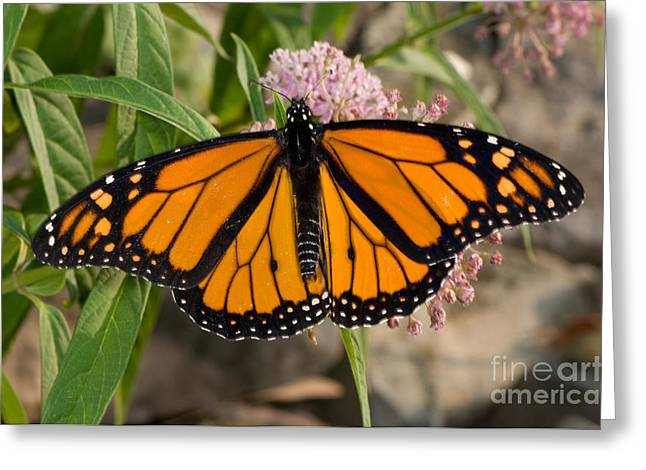 Danaus Plexippus Greeting Cards - Monarch Butterfly Greeting Card by Scott Camazine