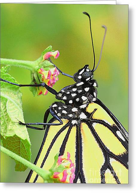 Eve Wheeler Greeting Cards - Monarch Butterfly V-3 Greeting Card by Eve Wheeler
