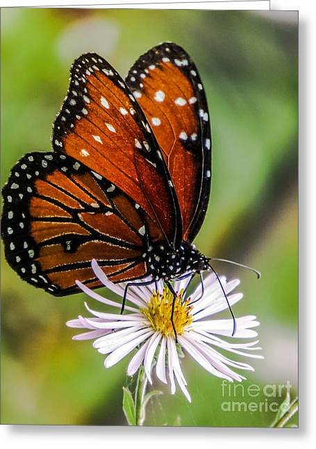 Biological Greeting Cards - Monarch butterfly Greeting Card by Zina Stromberg