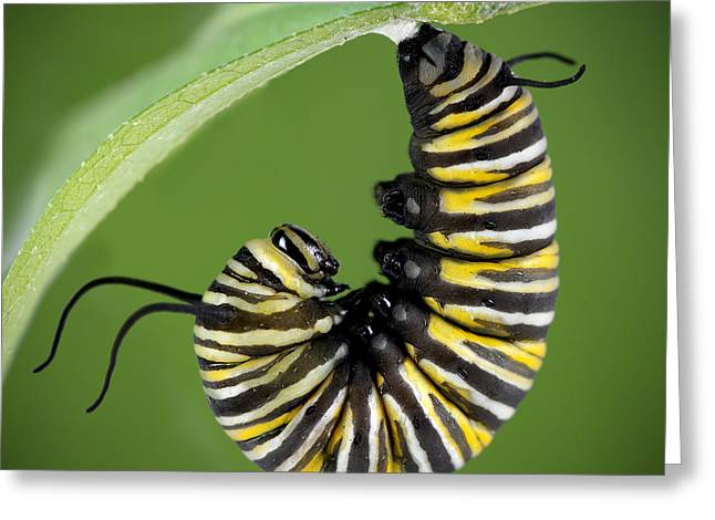 Cocoon Greeting Cards - Monarch Caterpillar Greeting Card by Brandon Alms