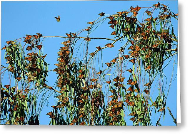 Ai Greeting Cards - Monarch Danaus Plexippus Butterflies Greeting Card by Jean-Paul Ferrero