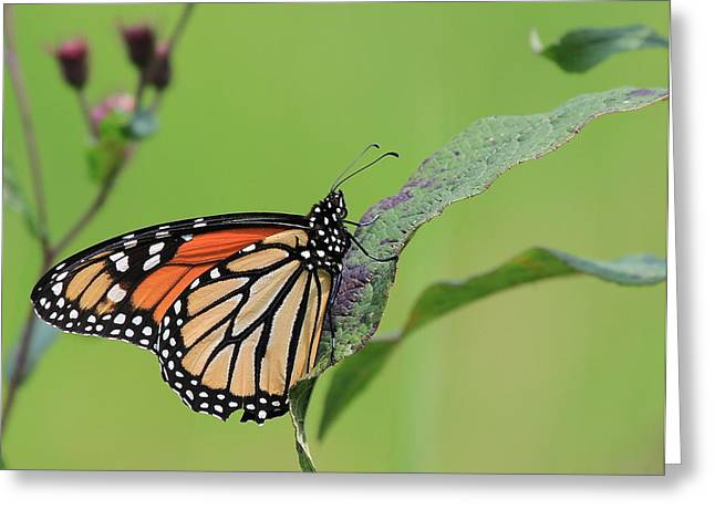 Centreville Greeting Cards - Beautiful Monarch Greeting Card by David Byron Keener
