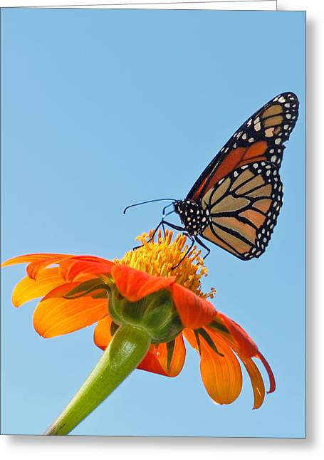 Award Greeting Cards - Monarch II Greeting Card by Dawn Currie