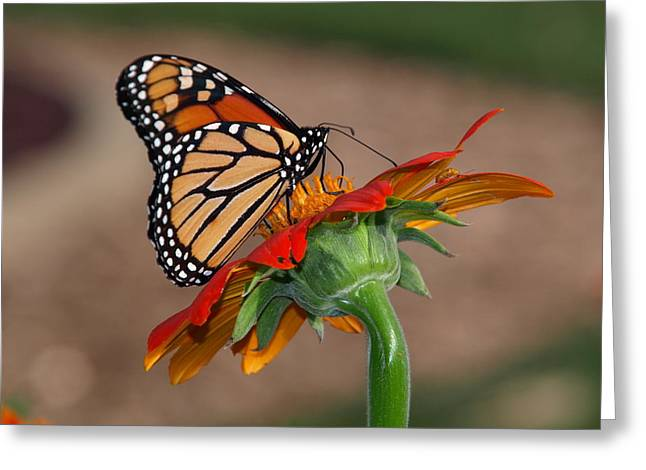 Umm Greeting Cards - Monarch Majesty Greeting Card by James Peterson