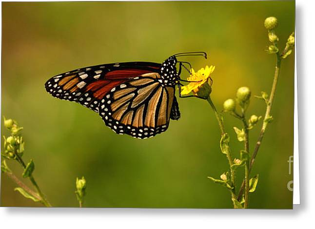 Recently Sold -  - Jacksonville Greeting Cards - Monarch Moment Greeting Card by John Tsumas