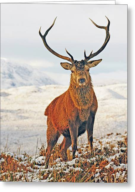 Rannoch Moor Greeting Cards - Monarch of the Glen Greeting Card by Pat Speirs