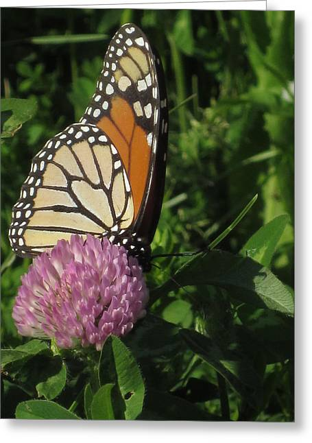 Guy Ricketts Photography Greeting Cards - Monarch on a Break Greeting Card by Guy Ricketts