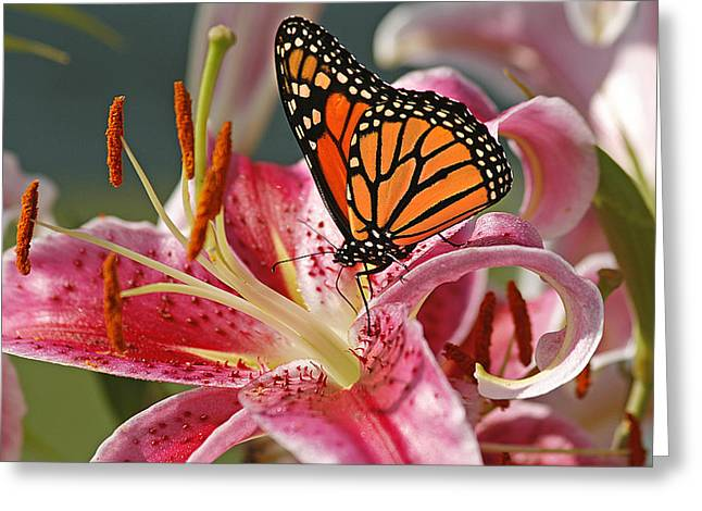 Cindi Ressler Greeting Cards - Monarch on a Stargazer Lily Greeting Card by Cindi Ressler