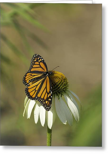 Large White Flower Close Up Greeting Cards - Monarch On Cone Flower Greeting Card by Thomas Young