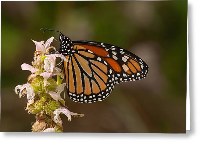Horsemint Greeting Cards - Monarch on Spotted Beebalm Greeting Card by Paul Rebmann