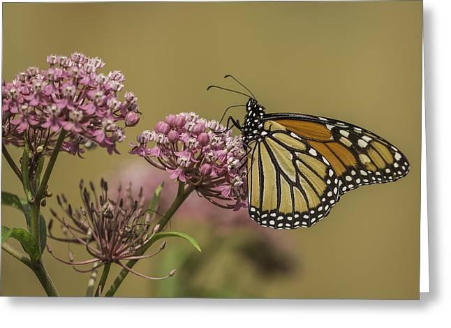 Swamp Milkweed Greeting Cards - Monarch On Swamp Milkweed Greeting Card by Thomas Young