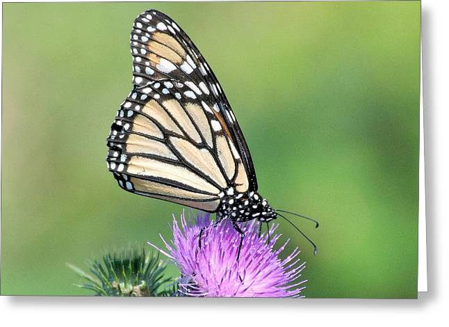 Butterlfy Greeting Cards - Monarch on Thistle Greeting Card by Linda  Barone