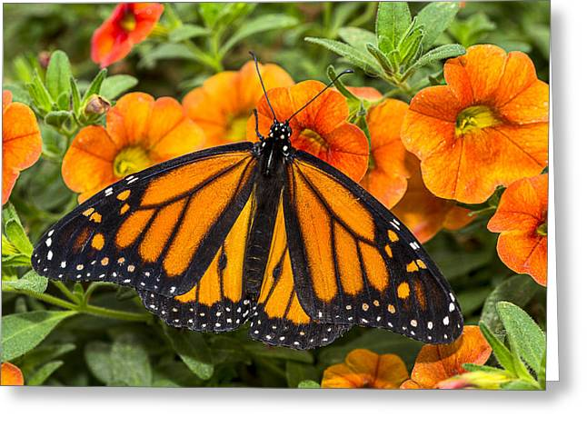 Monarch Greeting Cards - Monarch resting Greeting Card by Garry Gay
