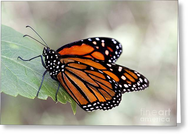Ruth Jolly Greeting Cards - Monarch resting on a leaf Greeting Card by Ruth Jolly
