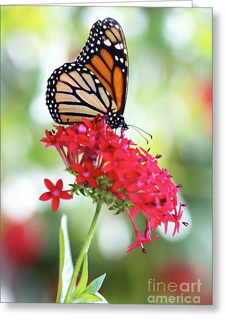 Monarch V Greeting Card by Pamela Gail Torres
