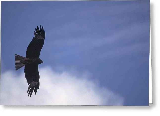Hawk In Flight Greeting Cards - Mongolia Greeting Card by Anonymous