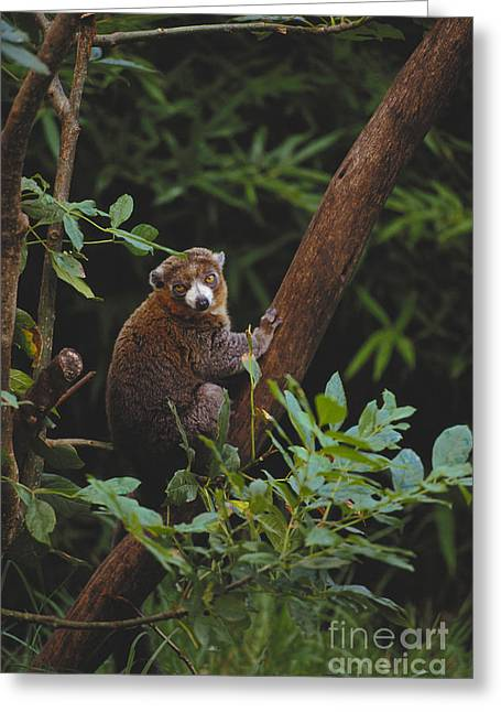 Sit-ins Greeting Cards - Mongoose Lemur Greeting Card by Art Wolfe