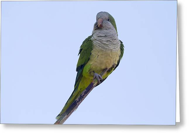 Quaker Parrot Greeting Cards - Monk Parakeet  Greeting Card by Chris Smith