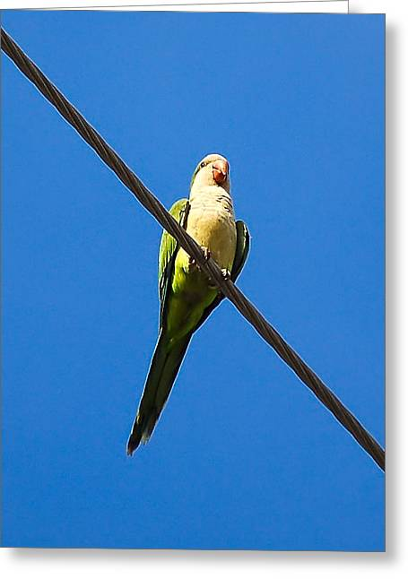 Quaker Greeting Cards - Monk Parakeet Greeting Card by Rich Leighton
