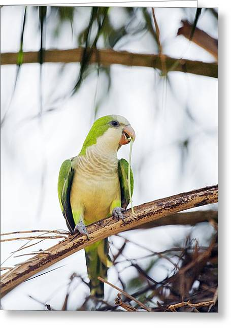 Quaker Greeting Cards - Monk parakeet Greeting Card by Science Photo Library