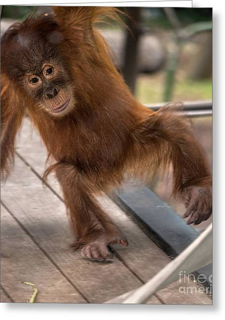 Ledge Greeting Cards - Monkey Business Greeting Card by Ray Warren