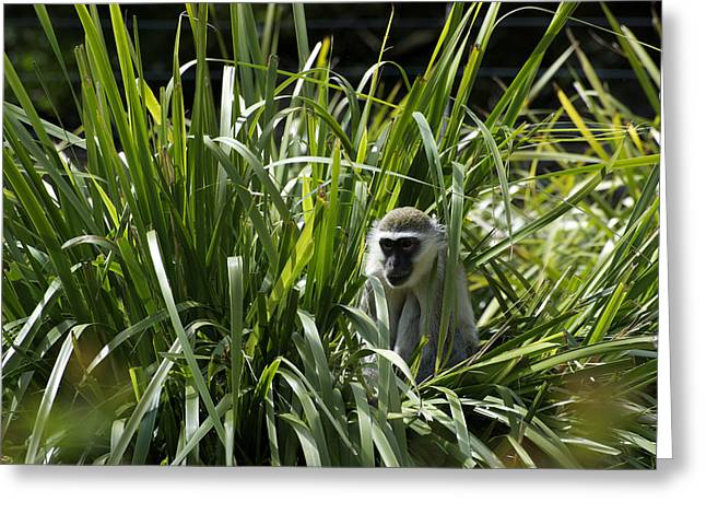 Monkey In The Grass Greeting Card by Graham Palmer