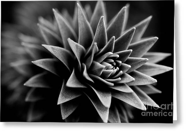 Black Greeting Cards - Monkey Puzzle Greeting Card by Venetta Archer