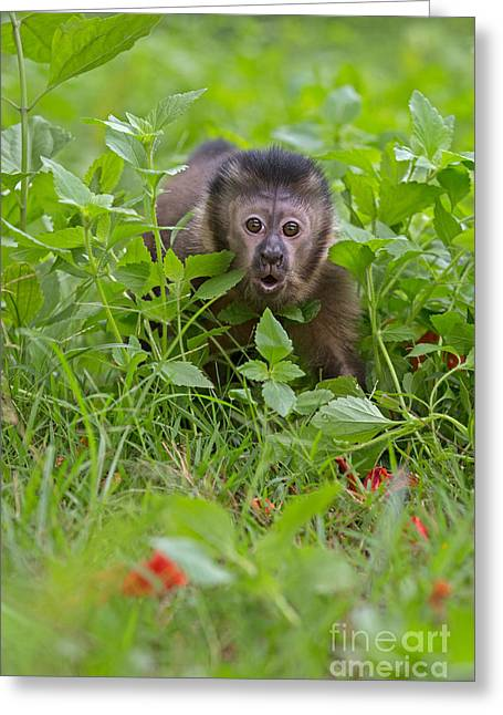 Hiding Greeting Cards - Monkey Shock Greeting Card by Ashley Vincent
