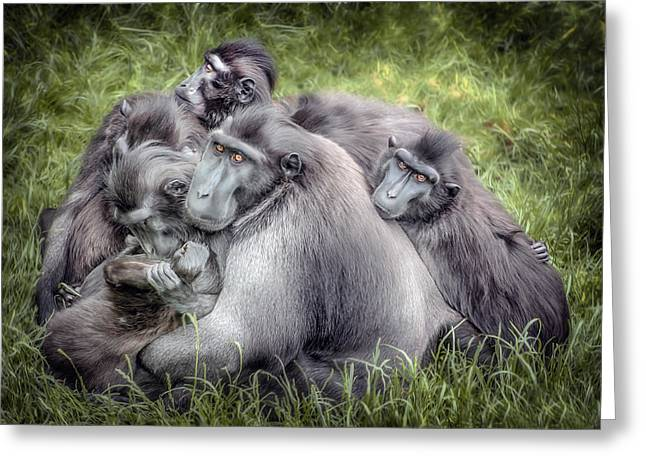 Sulawesi Greeting Cards - Monkeys - Sulawesi Crested Macaque Greeting Card by Jay Lethbridge