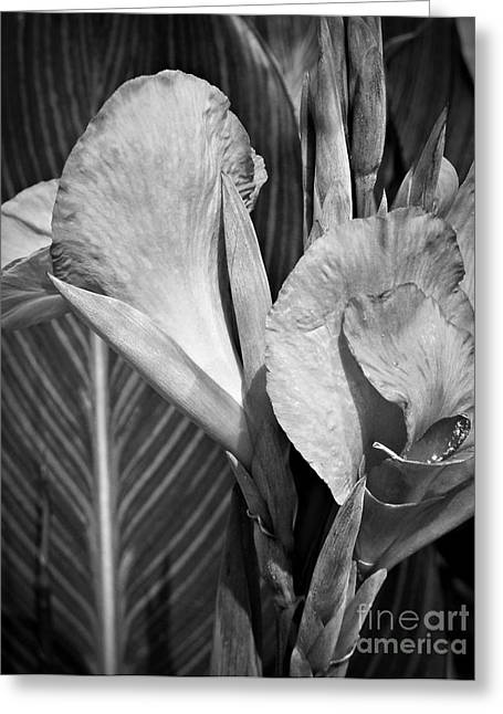 Monochrome Canna Greeting Card by Chalet Roome-Rigdon