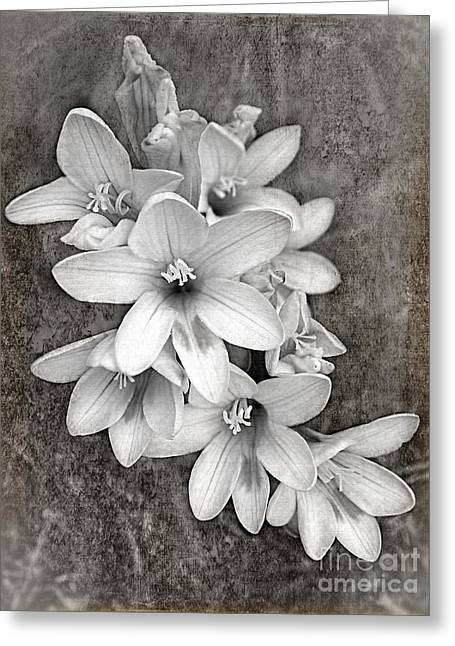 Stamen Digital Greeting Cards - Monochrome Freesia Canvas Grunge Greeting Card by Kaye Menner