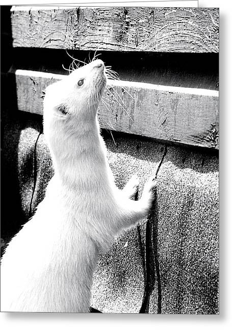 White Ferret Greeting Cards - Monochrome Nick Greeting Card by Nigel Espley