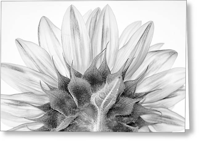 Organic Photographs Greeting Cards - Monochrome Sunflower Greeting Card by Stylianos Kleanthous