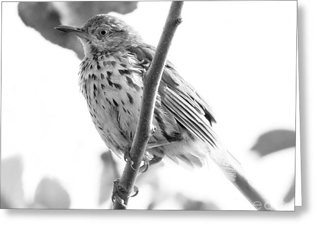 Ornithology Greeting Cards - Monochrome Thrasher Greeting Card by Anita Oakley
