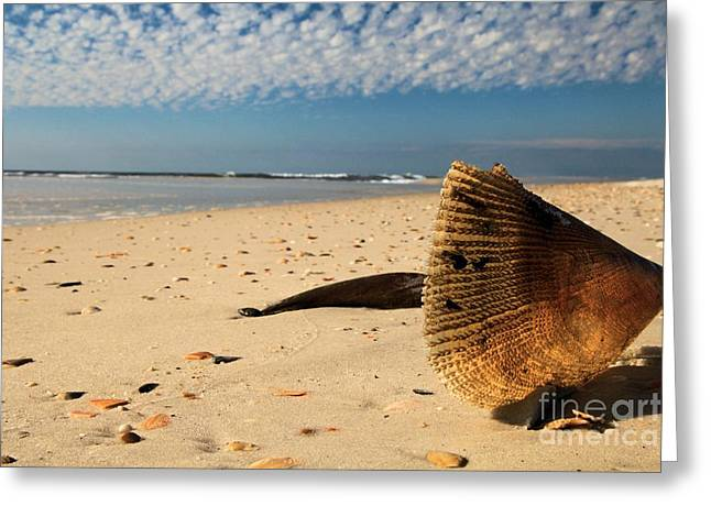 St Joseph Peninsula State Park Greeting Cards - Monster Clam Greeting Card by Adam Jewell