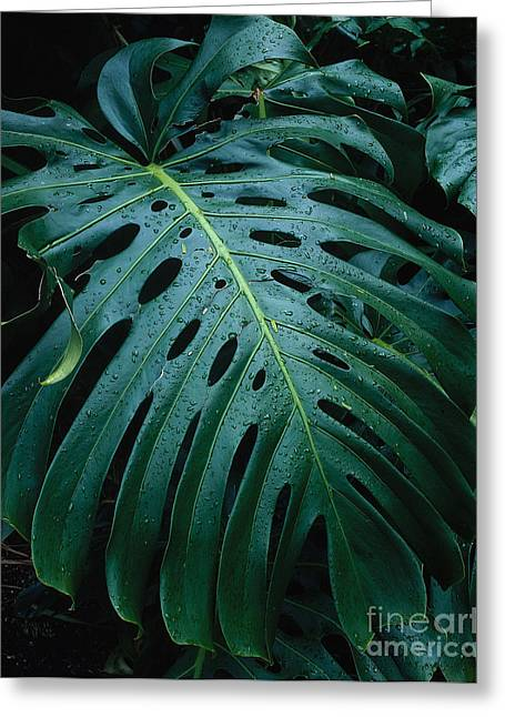 Swiss Cheese Greeting Cards - Monstera Plant Greeting Card by Tracy Knauer