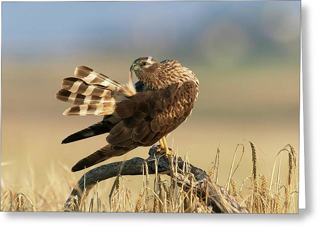 Montagu's Harrier Greeting Card by Dr P. Marazzi